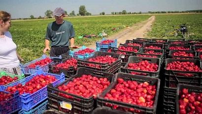 Сбор ягод в Польше из Черкасс, Смелы, Каменки, Корсуня, Городища